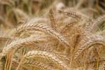 wheat811