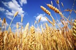 Wheat field and blue sky with white clouds