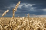 winter-wheat