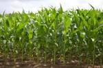 corn1501