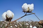 cotton1210