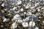 cotton102